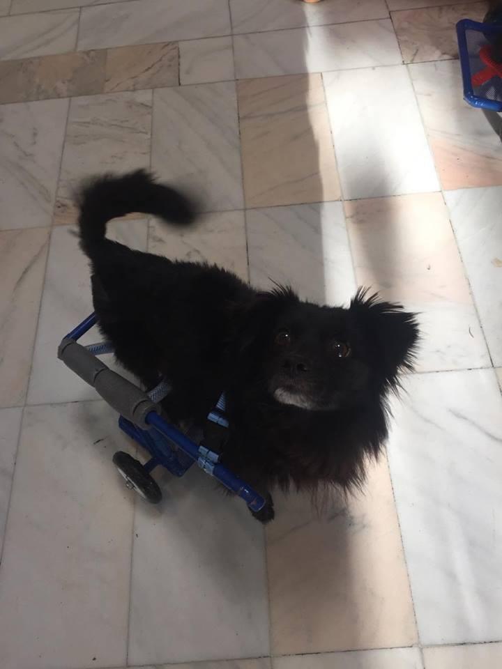 KIRIKOU (ex ALOUP) -  petit chien mâle grièvement blessé et paralysé, né environ août 2012 - EN CLINIQUE A BUCAREST (Mircea) - Adopté par Gaëlle (Belgique) - Page 4 Aloup13