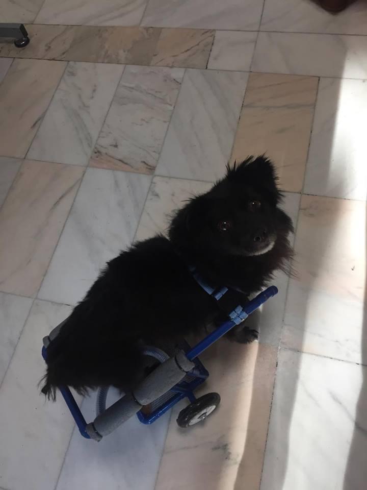 KIRIKOU (ex ALOUP) -  petit chien mâle grièvement blessé et paralysé, né environ août 2012 - EN CLINIQUE A BUCAREST (Mircea) - Adopté par Gaëlle (Belgique) - Page 4 Alout110