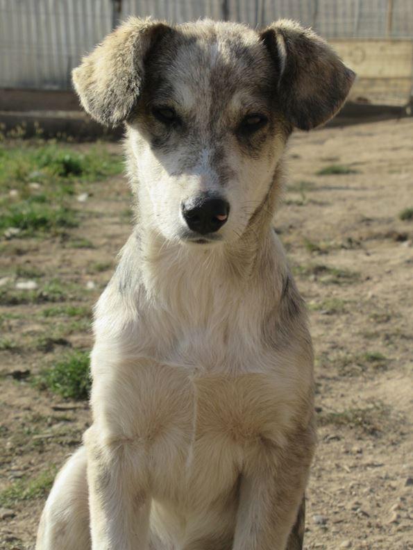 BALTO - mâle croisé Loup Tchécoslovaque ou Nordique ? de taille moyenne adulte, né en avril 2017 (PASCANI) - REMEMBER ME LAND - Adopté par Ludivine (80) Balto10