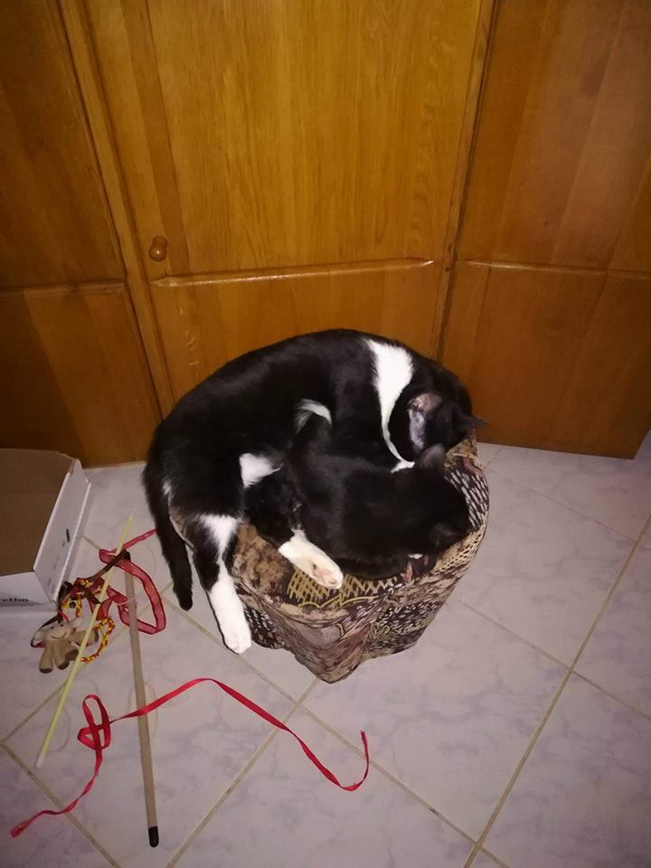 BILUTZ - chat mâle, grande taille adulte, né aout 2017 - adopté par Adelina (Pascani)  Bilutz10