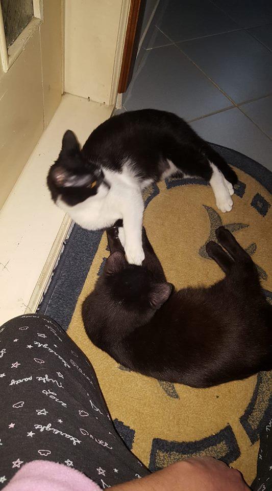 BILUTZ - chat mâle, grande taille adulte, né aout 2017 - adopté par Adelina (Pascani)  Bilutz12