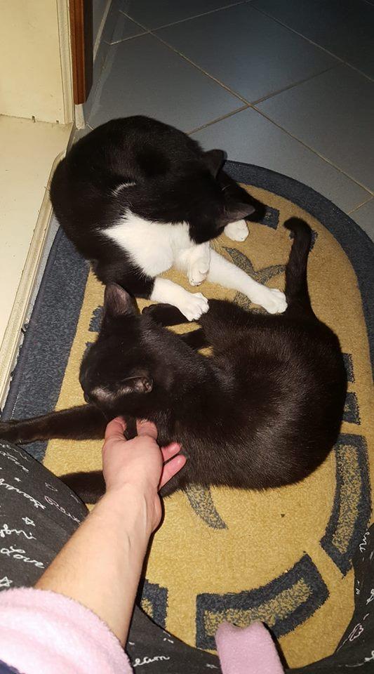 BILUTZ - chat mâle, grande taille adulte, né aout 2017 - adopté par Adelina (Pascani)  Bilutz13