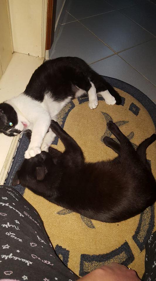 BILUTZ - chat mâle, grande taille adulte, né aout 2017 - adopté par Adelina (Pascani)  Bilutz14