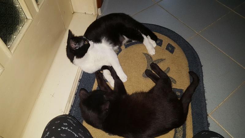 BILUTZ - chat mâle, grande taille adulte, né aout 2017 - adopté par Adelina (Pascani)  Bilutz15