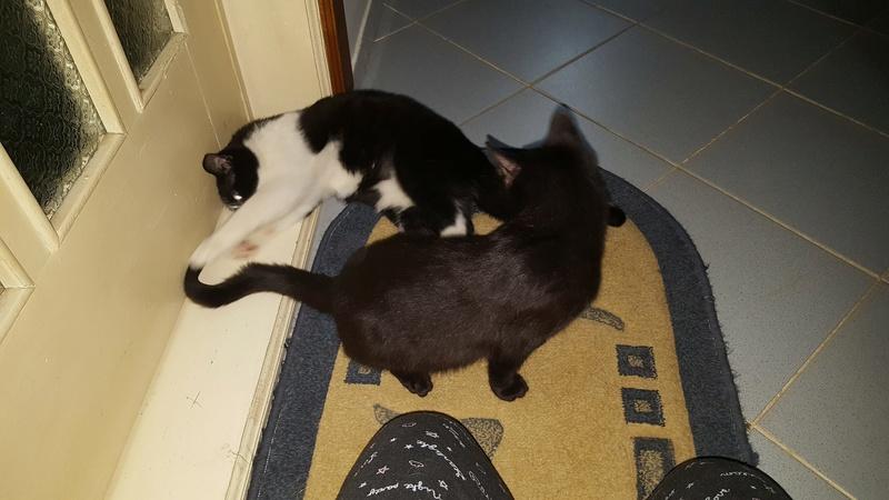 BILUTZ - chat mâle, grande taille adulte, né aout 2017 - adopté par Adelina (Pascani)  Bilutz16