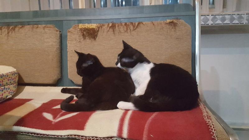 BILUTZ - chat mâle, grande taille adulte, né aout 2017 - adopté par Adelina (Pascani)  Bilutz22