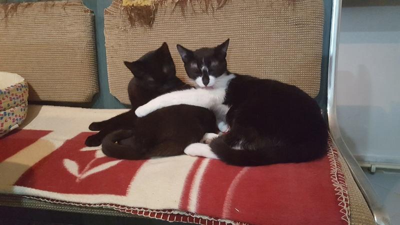 BILUTZ - chat mâle, grande taille adulte, né aout 2017 - adopté par Adelina (Pascani)  Bilutz23