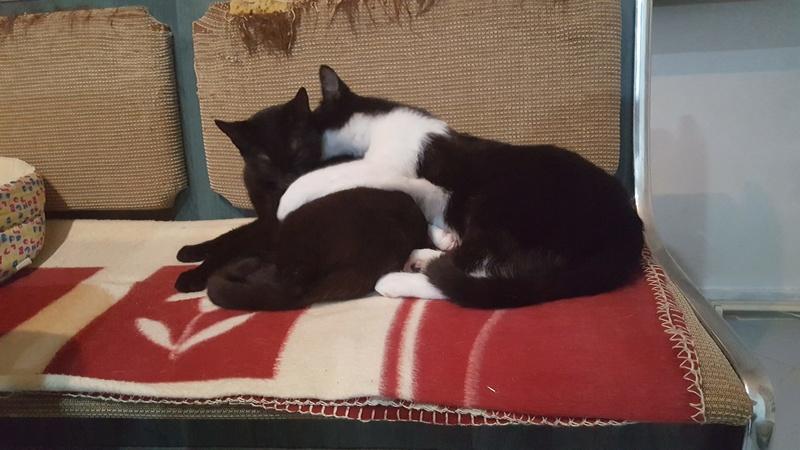 BILUTZ - chat mâle, grande taille adulte, né aout 2017 - adopté par Adelina (Pascani)  Bilutz24