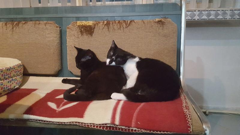 BILUTZ - chat mâle, grande taille adulte, né aout 2017 - adopté par Adelina (Pascani)  Bilutz25