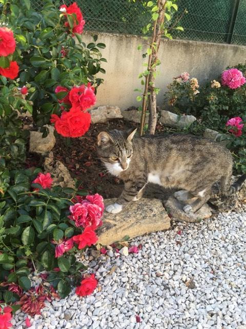 CLOCHETTE - chat femelle née septembre 2015, très gentille et calme - en FA chez Christine (83) Cloche12