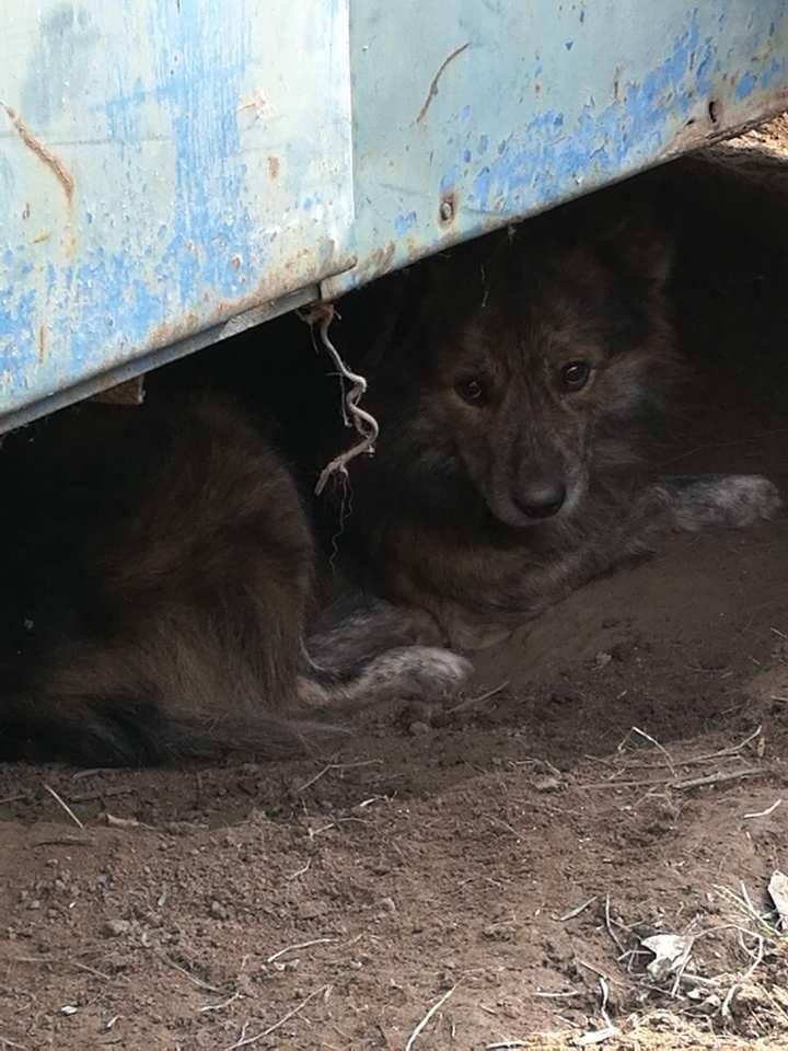 cougar - COUGAR - mâle croisé de taille moyenne, né en 2010  (PASCANI) - REMEMBER ME LAND Cougar11