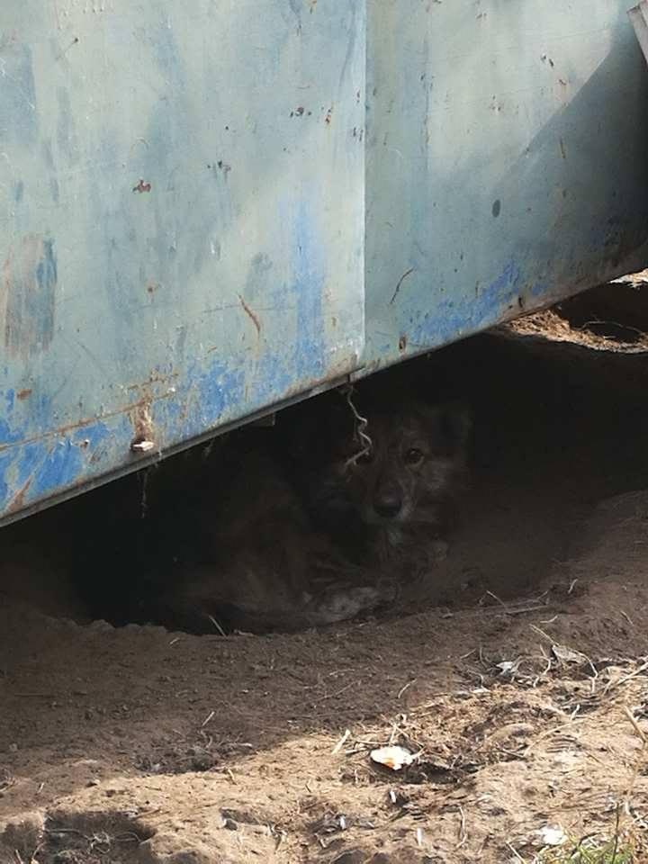 cougar - COUGAR - mâle croisé de taille moyenne, né en 2010  (PASCANI) - REMEMBER ME LAND Cougar14