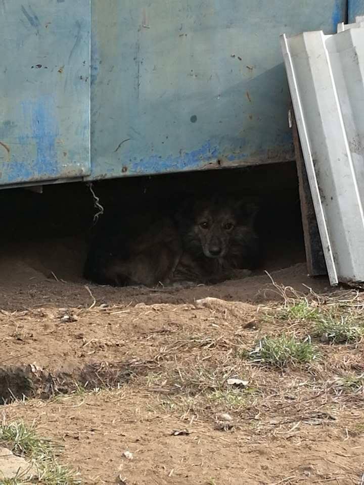 cougar - COUGAR - mâle croisé de taille moyenne, né en 2010  (PASCANI) - REMEMBER ME LAND Cougar16