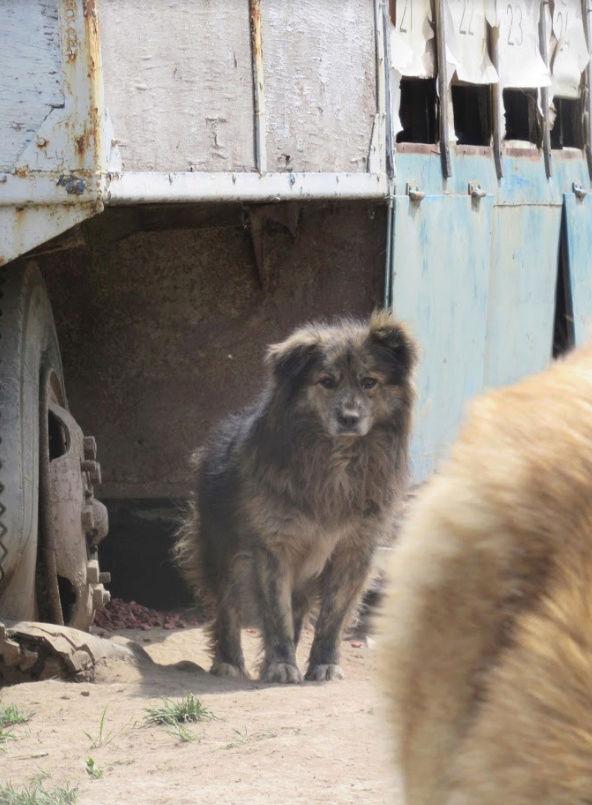 cougar - COUGAR - mâle croisé de taille moyenne, né en 2010  (PASCANI) - REMEMBER ME LAND Cougar17
