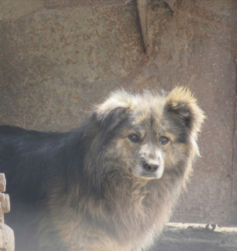 COUGAR - mâle croisé de taille moyenne, né en 2010  (PASCANI) - REMEMBER ME LAND Cougar18
