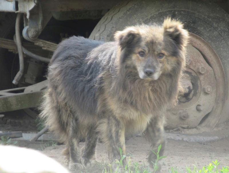 COUGAR - mâle croisé de taille moyenne, né en 2010  (PASCANI) - REMEMBER ME LAND Cougar20