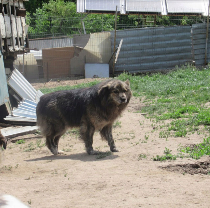 cougar - COUGAR - mâle croisé de taille moyenne, né en 2010  (PASCANI) - REMEMBER ME LAND Cougar22