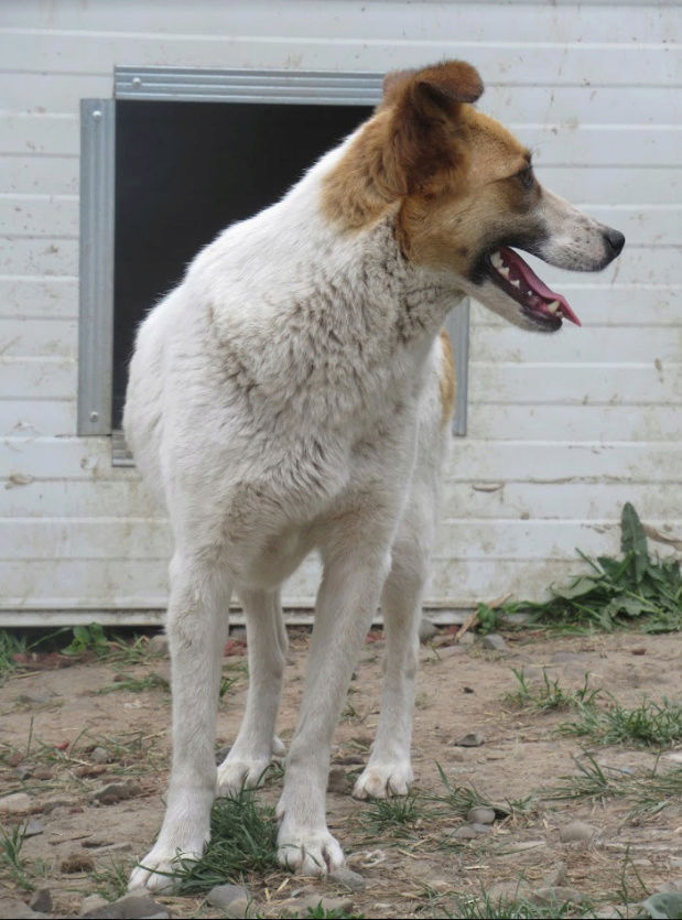 CYRUS - femelle de taille moyenne, née fin 2015 - (PASCANI) - REMEMBER ME LAND Cyrus310