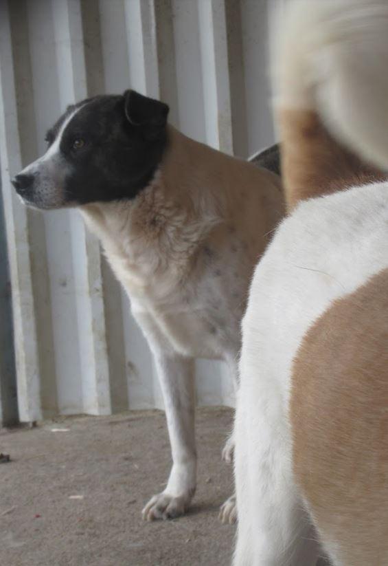 DARINA !! + de 3 ans de box !! femelle, née environ en 2011, croisée, taille moyenne (Pascani) - REMEMBER ME LAND Doit voyager au plus vite elle a de l'ascite   - Page 2 Darina10