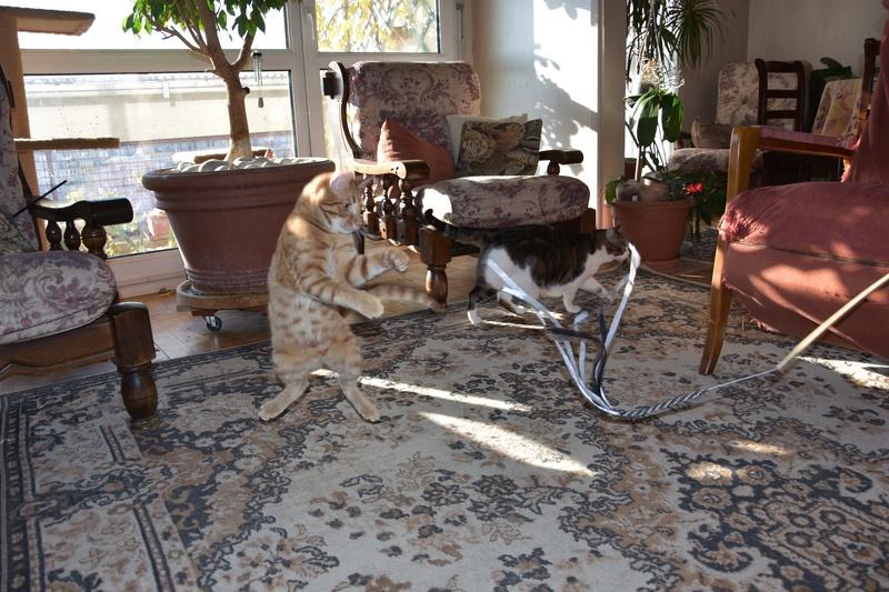 DRAGOMIR (ex MR LOUIS) - magnifique chat mâle léopard, né fin mai 2018 (BUCAREST) - EN FA chez Abysse (92) - ADOPTE PAR CYRIL (92) Dragom11