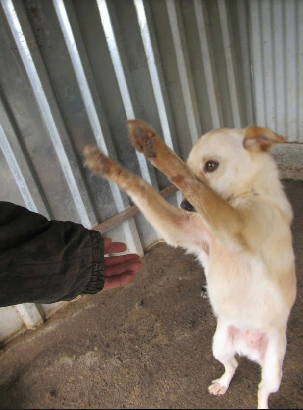 FEELING - femelle croisée labrador taille petite à moyenne née environ avril 2015 - REMEMBER ME LAND - Adoptée par Magali (68) - Page 2 Feelin14