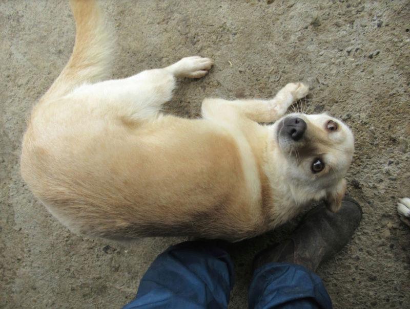 FEELING - femelle croisée labrador taille petite à moyenne née environ avril 2015 - REMEMBER ME LAND - Adoptée par Magali (68) - Page 2 Feelin20