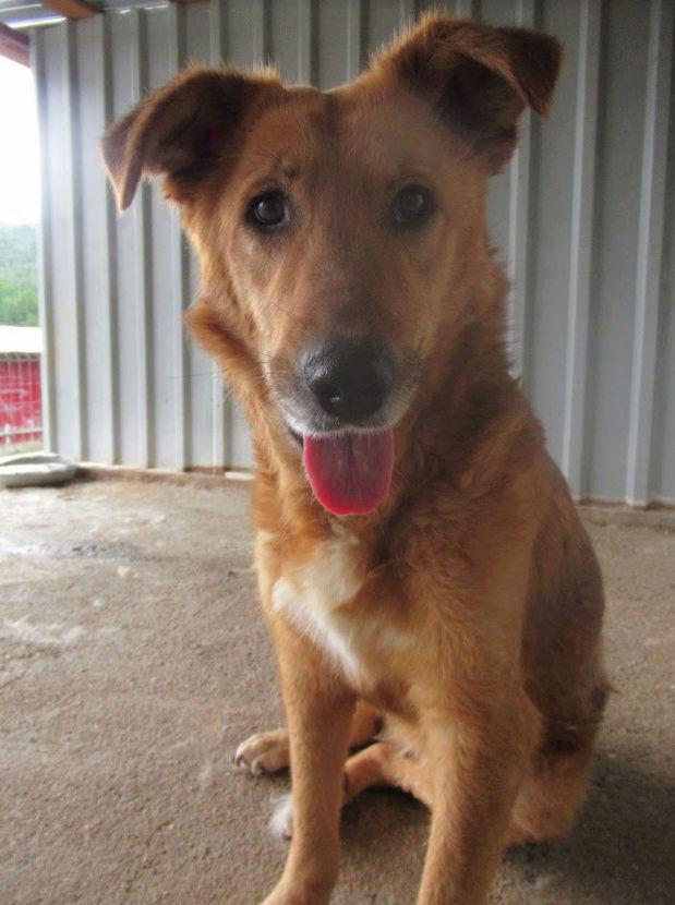 LEILA (ex GINGER) - Femelle, croisée, de grande taille, née en 2012 ( PASCANI ) REMEMBER ME LAND - Adoptée par Nicole (91) - Page 2 Ginger16