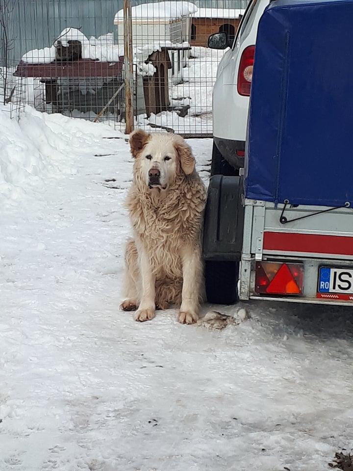 GOLIATH !! + de 3 ans de box !! mâle grande taille, né environ en octobre 2009, croisé montagne des Pyrénées (Cristesti) - REMEMBER ME LAND - En FALD chez Caroline (05) - DECEDE  - Page 4 Goliat12