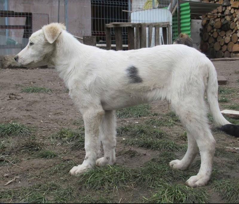 HENDRIX - mâle croisé de grande taille adulte, né environ en mai 2017 (PASCANI) - REMEMBER ME LAND - Adopté par SEVERINE (93) Hendri18