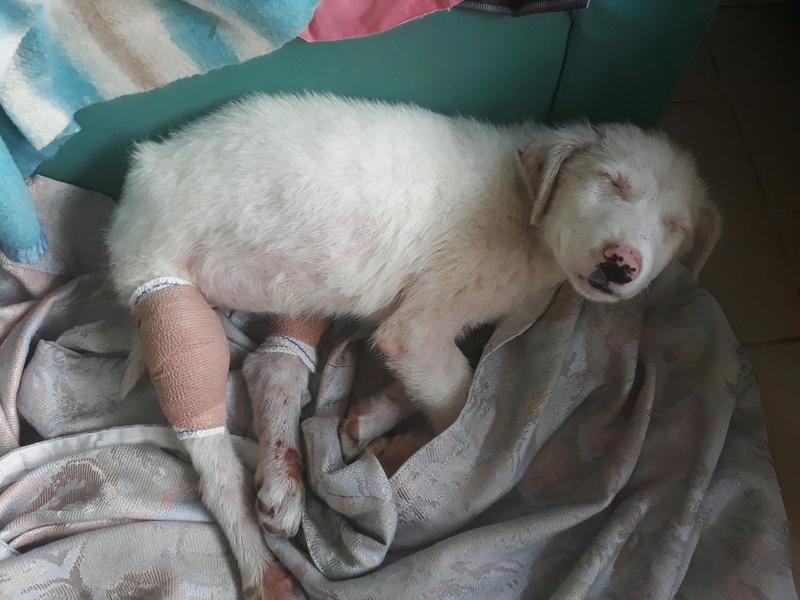 LAZARRE - joli mâle croisée de grande taille adulte, né en janvier 2018. Handicapé (PASCANI) - Adopté par Sabine (Belgique)  - décédé Lazarr23
