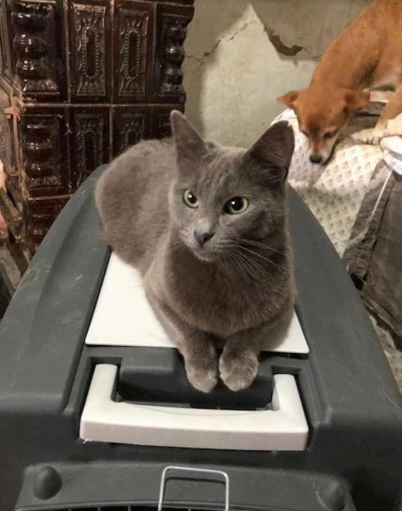 LEA (ex LOLLO BRIGITA) - chat femelle, née en 2015 - CAMELIA BUCAREST - Adoptée par Veronica (Belgique) Lolo_b13
