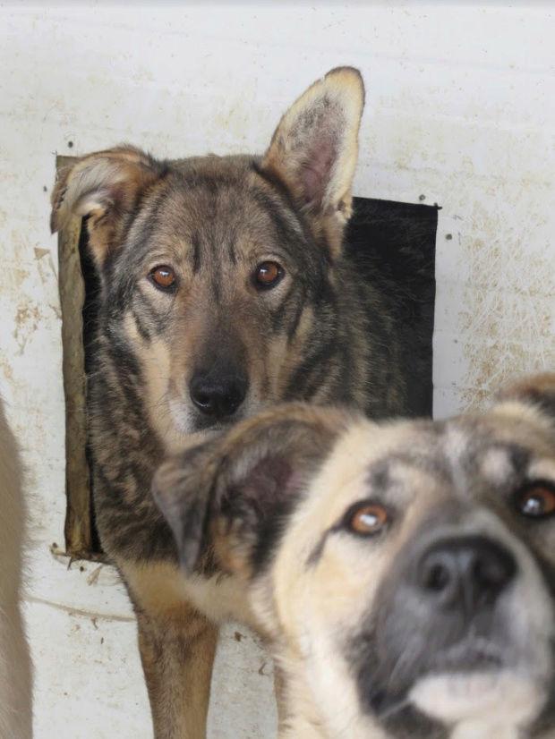 LUPI !! + de 3 ans de box !! - femelle , née environ en 2010, typée chien loup de sarloos, taille moyenne - REMEMBER ME LAND - Page 2 Lupi210