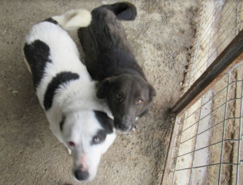 MILKA - femelle croisée de taille moyenne, née environ en 2011 - (Pascani) REMEMBER ME LAND  ADOPTEE PAR Delphine (27) Milka_10