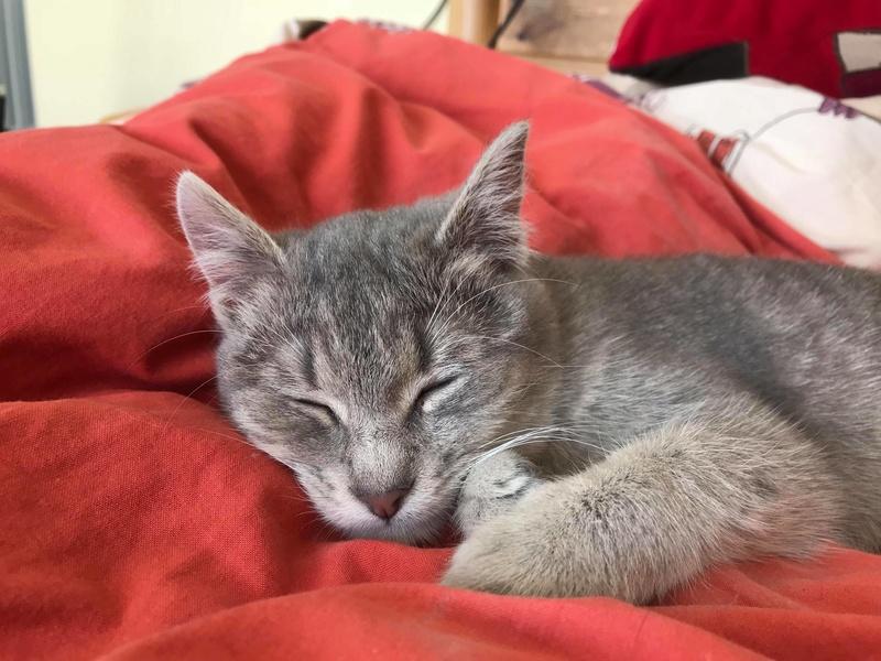 Miss TIGRIS - chat femelle, née en octobre 2017 - en FA chez Abysse (92) - Adoptée par Anne (Belgique) - !! EN FUGUE HELP !! Miss_t15