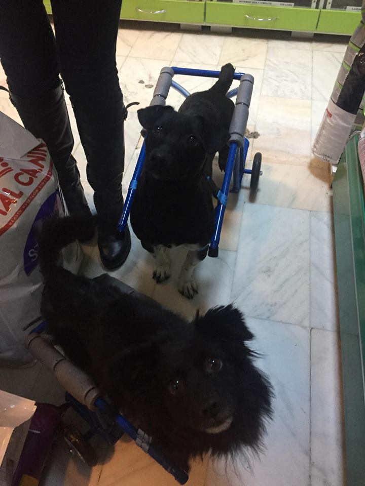 KIRIKOU (ex ALOUP) -  petit chien mâle grièvement blessé et paralysé, né environ août 2012 - EN CLINIQUE A BUCAREST (Mircea) - Adopté par Gaëlle (Belgique) - Page 4 Nougat26