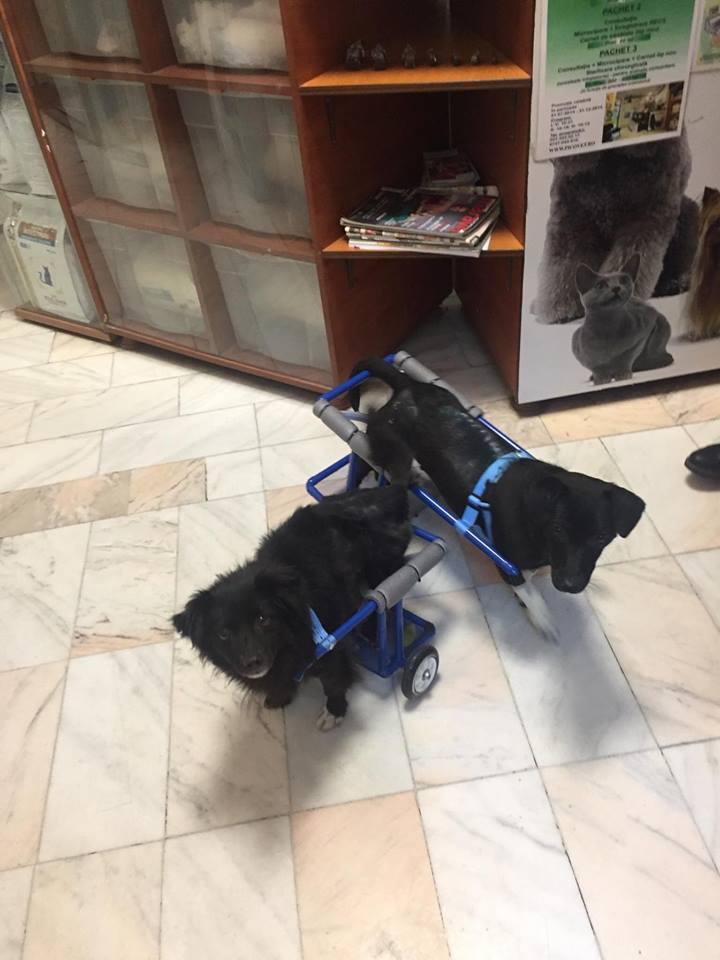 KIRIKOU (ex ALOUP) -  petit chien mâle grièvement blessé et paralysé, né environ août 2012 - EN CLINIQUE A BUCAREST (Mircea) - Adopté par Gaëlle (Belgique) - Page 4 Nougat27