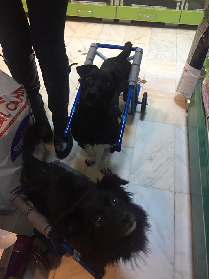 KIRIKOU (ex ALOUP) -  petit chien mâle grièvement blessé et paralysé, né environ août 2012 - EN CLINIQUE A BUCAREST (Mircea) - Adopté par Gaëlle (Belgique) - Page 4 Nougat28