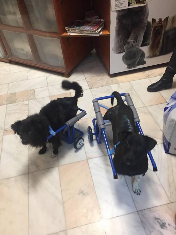 KIRIKOU (ex ALOUP) -  petit chien mâle grièvement blessé et paralysé, né environ août 2012 - EN CLINIQUE A BUCAREST (Mircea) - Adopté par Gaëlle (Belgique) - Page 4 Nougat29