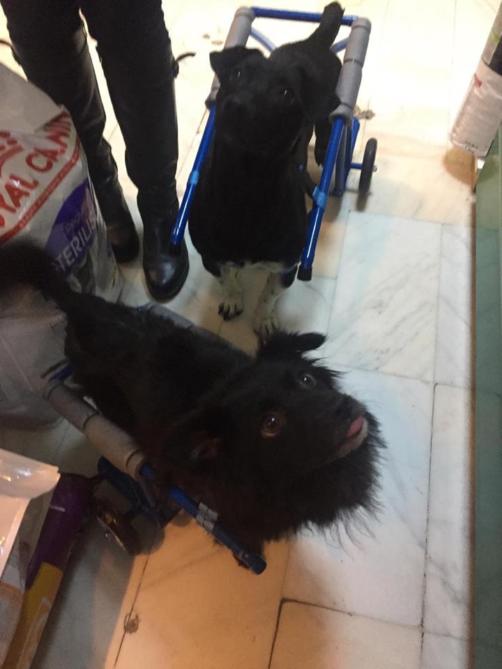 KIRIKOU (ex ALOUP) -  petit chien mâle grièvement blessé et paralysé, né environ août 2012 - EN CLINIQUE A BUCAREST (Mircea) - Adopté par Gaëlle (Belgique) - Page 4 Nougat30