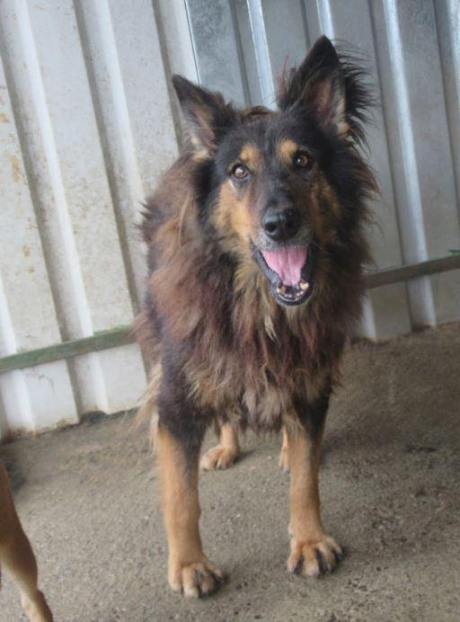 ORGANZA, femelle croisée berger allemand âgée taille moyenne née environ 2002 (Pascani)- REMEMBER ME LAND - En FALD chez lakota03 (03)-Decedee - Page 3 Organz10