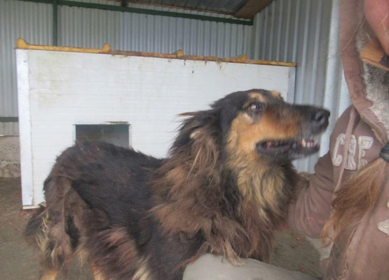 ORGANZA, femelle croisée berger allemand âgée taille moyenne née environ 2002 (Pascani)- REMEMBER ME LAND - En FALD chez lakota03 (03)-Decedee - Page 3 Organz16