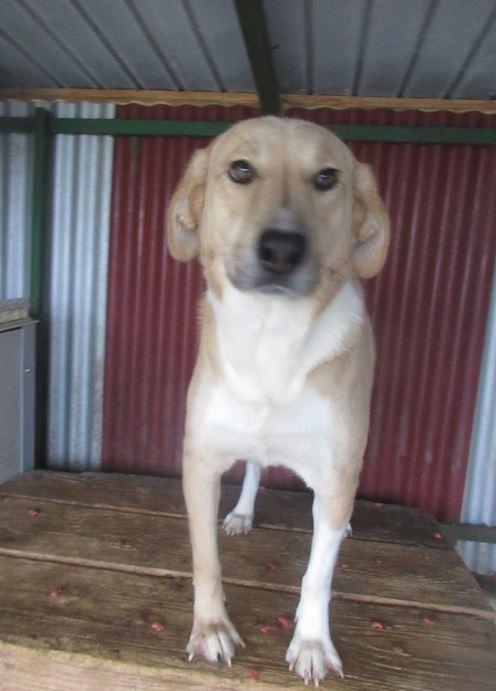 SHYVA - femelle croisée Labrador de taille moyenne à grande, née environ en février 2014 - (Pascani) adoptée par Aurélie (Belgique) - DECEDEE Shiva10