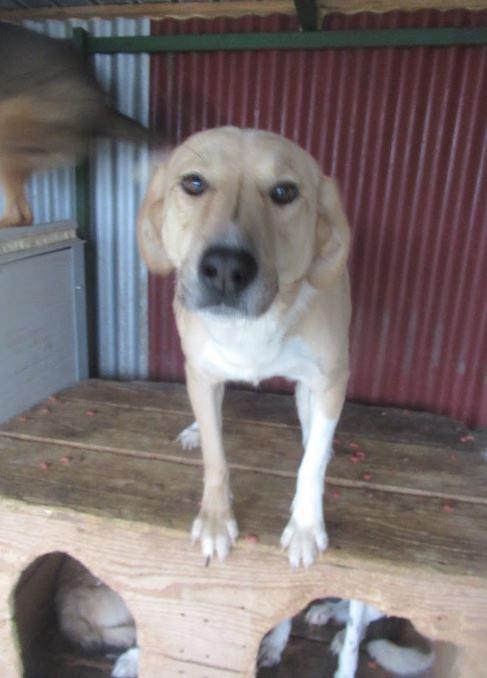 SHYVA - femelle croisée Labrador de taille moyenne à grande, née environ en février 2014 - (Pascani) adoptée par Aurélie (Belgique) - DECEDEE Shiva110