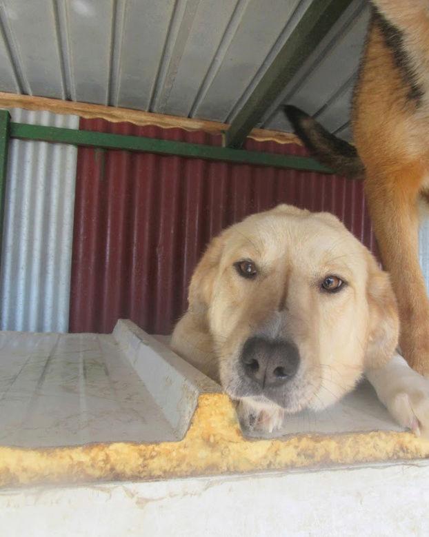 SHYVA - femelle croisée Labrador de taille moyenne à grande, née environ en février 2014 - (Pascani) adoptée par Aurélie (Belgique) - DECEDEE - Page 2 Shiva212