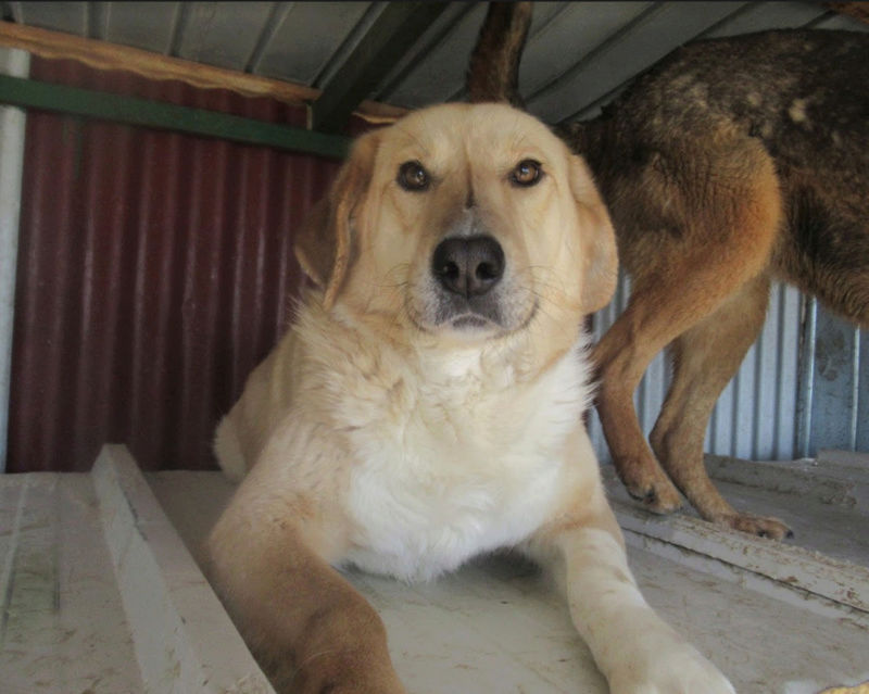 SHYVA - femelle croisée Labrador de taille moyenne à grande, née environ en février 2014 - (Pascani) adoptée par Aurélie (Belgique) - DECEDEE - Page 2 Shyva110