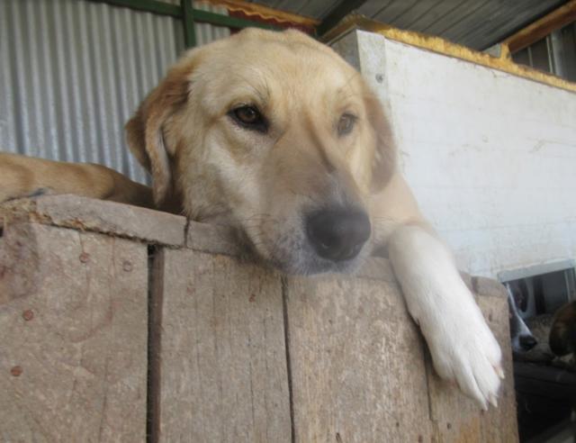 SHYVA - femelle croisée Labrador de taille moyenne à grande, née environ en février 2014 - (Pascani) adoptée par Aurélie (Belgique) - DECEDEE - Page 2 Shyva113