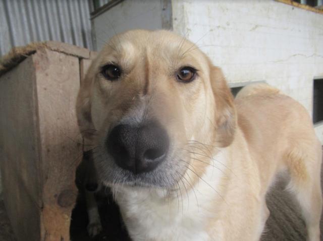 SHYVA - femelle croisée Labrador de taille moyenne à grande, née environ en février 2014 - (Pascani) adoptée par Aurélie (Belgique) - DECEDEE - Page 2 Shyva114