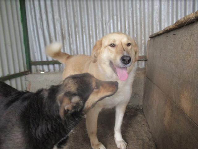 SHYVA - femelle croisée Labrador de taille moyenne à grande, née environ en février 2014 - (Pascani) adoptée par Aurélie (Belgique) - DECEDEE - Page 2 Shyva117
