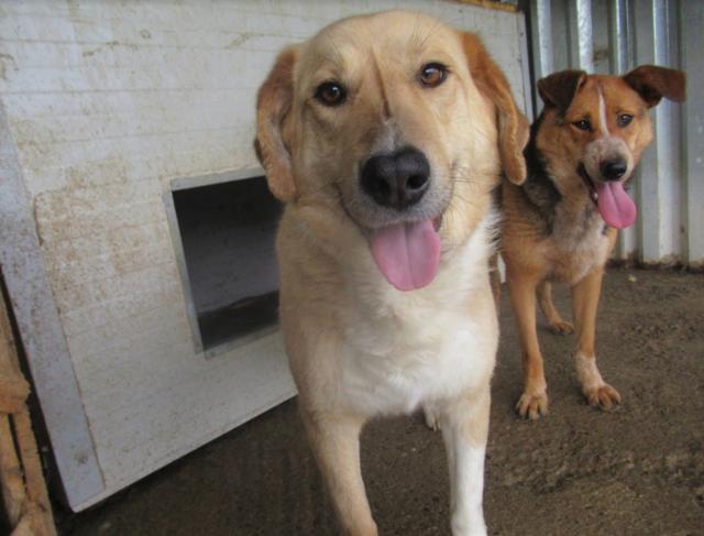 SHYVA - femelle croisée Labrador de taille moyenne à grande, née environ en février 2014 - (Pascani) adoptée par Aurélie (Belgique) - DECEDEE - Page 2 Shyva118