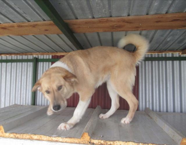 SHYVA - femelle croisée Labrador de taille moyenne à grande, née environ en février 2014 - (Pascani) adoptée par Aurélie (Belgique) - DECEDEE - Page 2 Shyva210
